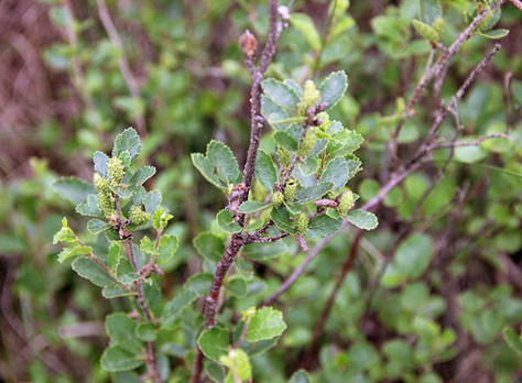 Brzoza niska - Betula humilis Schrank