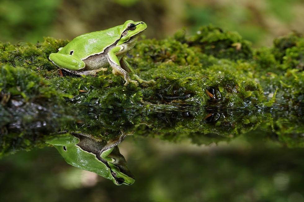 Rzekotka drzewna (Hyla arborea)