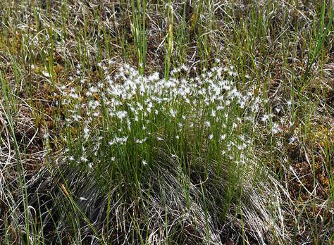 Wełnianeczka alpejska - Baeothryon alpinum (L.)