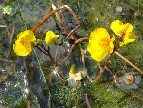 Pływacz zwyczajny - Utricularia vulgaris L.