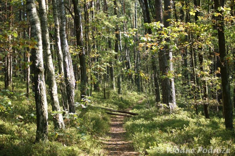Las w okolicy Bocianowskiego Bagna