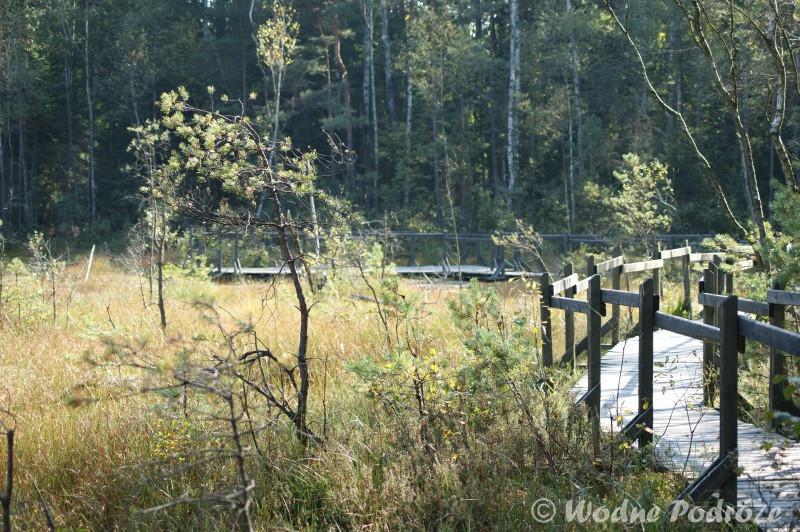 Karłowata sosna pospolita rosnąca na torfowisku wysokim