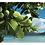 Thumbnail: Huile vierge de Tamanu 50ml