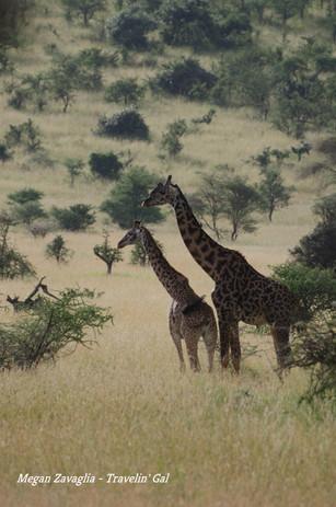 Two Giraffe Looking Left.jpg