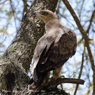 African Hawk.jpg