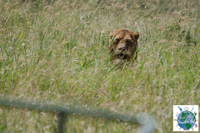 lion approaching vehicle.jpg