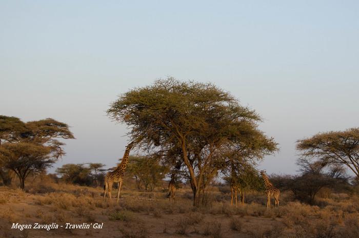 Giraffes around tree eating.jpg