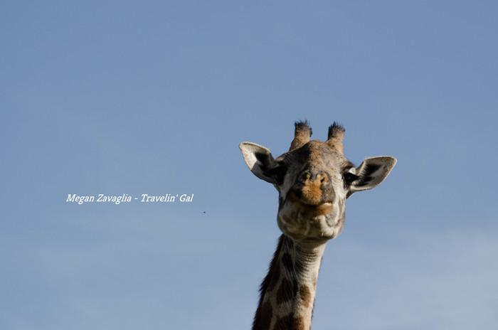 CU Girafe Face Looking middle watermark.