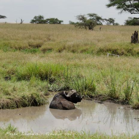 waterbuffalo.jpg