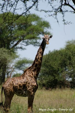 Giraffe full looking.jpg