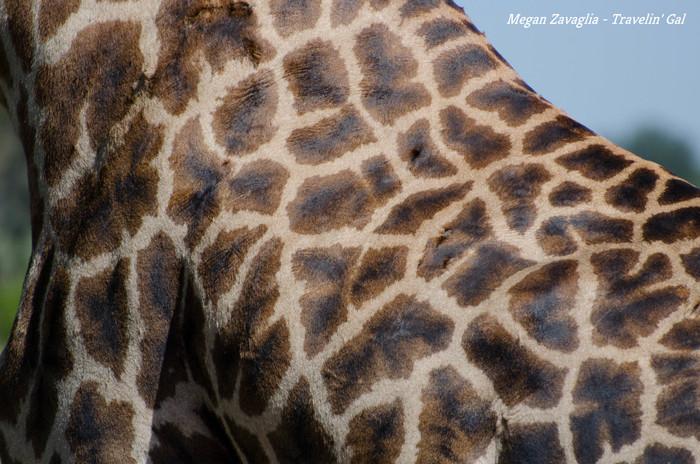 Giraffe texture CU.jpg