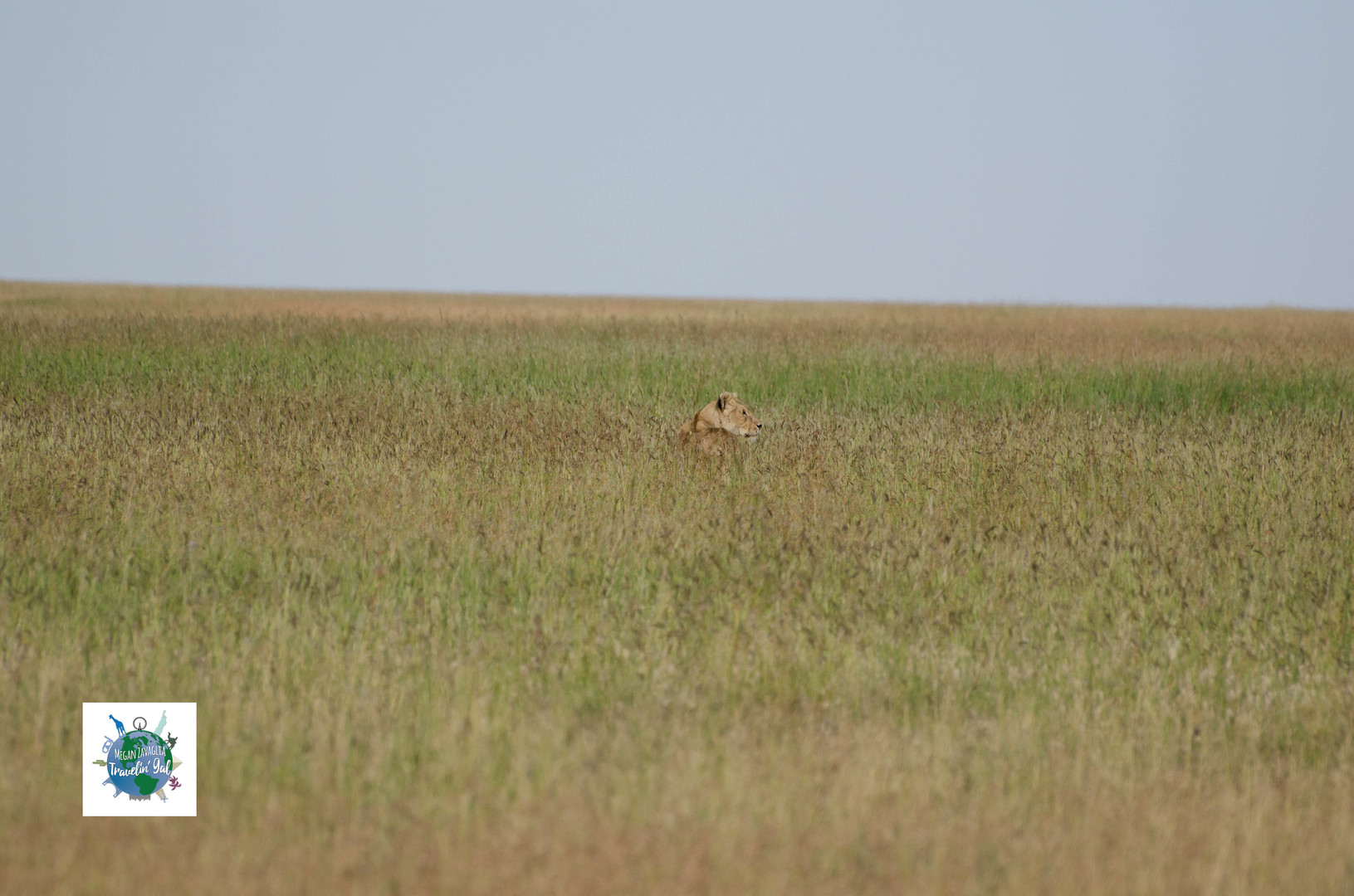 Lion in grass.jpg