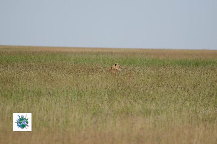 Lion in grass.jpg