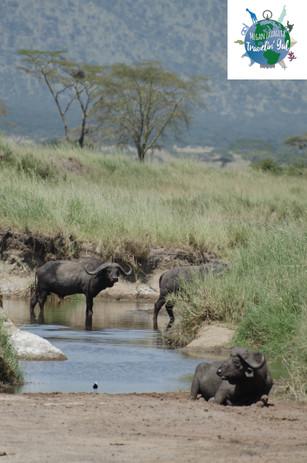 waterbuffalo 2.jpg