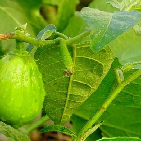 Recette naturelle à base d'aubergine pour soigner les myomes et le gros ventre