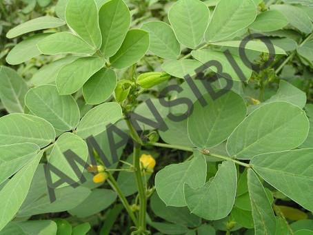Cassia tora, une plante contre la morsure de vipère
