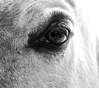 Horse eye in black and white