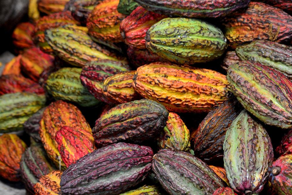 Cacao ecuador pods.jpg