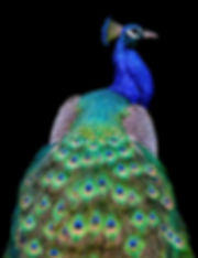 Peacock original resolution high quality