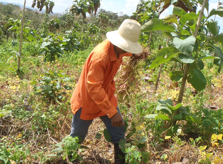 Turned the teak plantations into fields for families