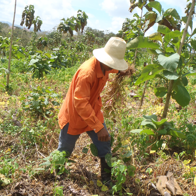bean harvesting_crop.png