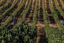 Vindimas do vinho Quinta das Carrafouchas em Loures