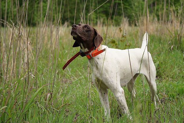 World class hunting dog at Bear Creek Reserve.