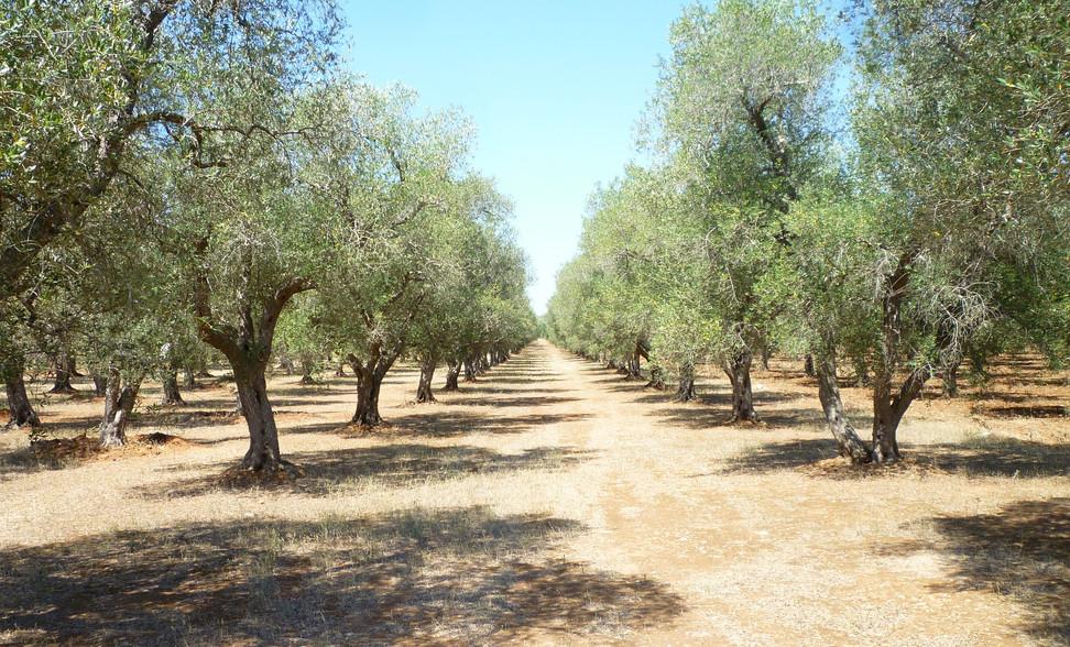 olive-grove-886869_1920.jpg