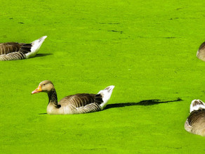 Prevention & Treatment of Duckweed