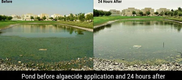 green eutrophic Pond with algae treated with algaecide treatment