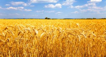 Shift in crop-seeding pattern boosts yields