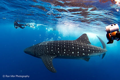 Whale Sharks and divers.jpg