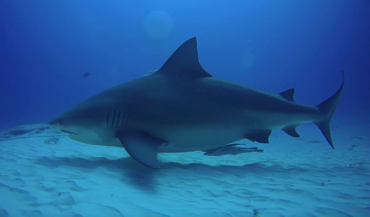 Bull Sharks Playa Del Carmen.jpeg