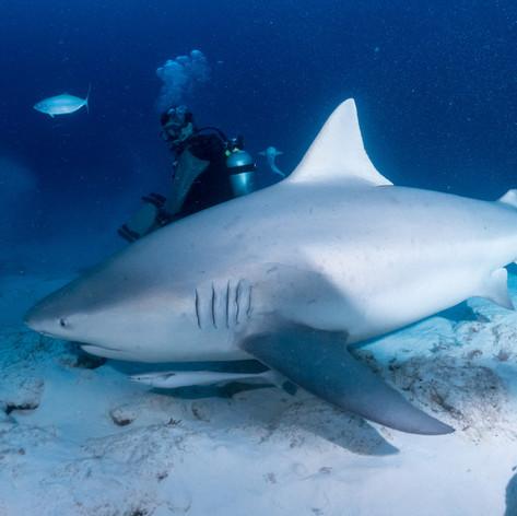 Bull Sharks_00431.jpg