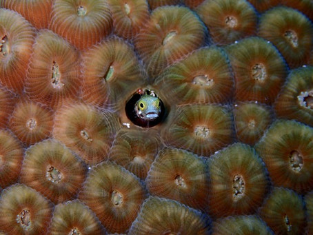 Blennyfish of Cozumel: Mighty Macro You Don't Want to Miss