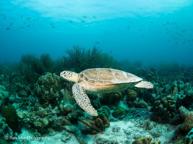Turtle and corals.jpg