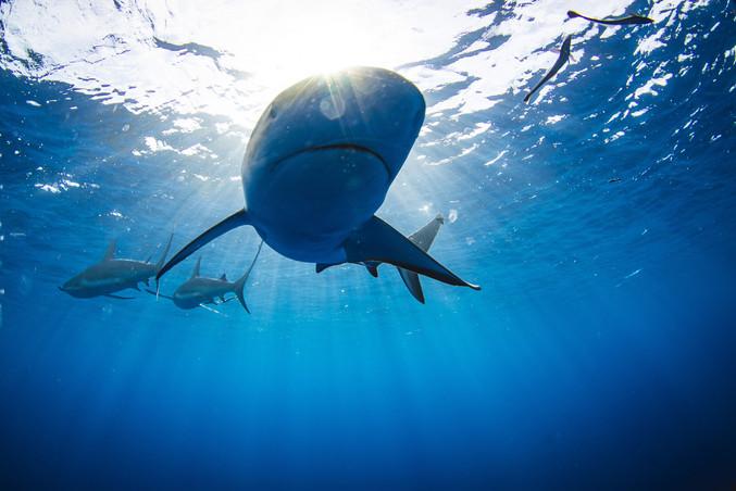 Bull Sharks big.jpg