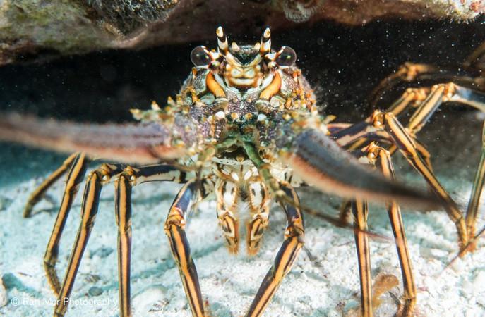 Lobster diving Cozueml.jpg