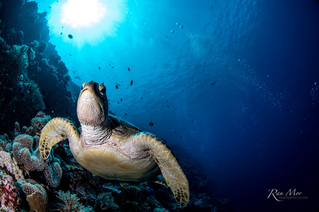 Sea Turtle and corals.jpg