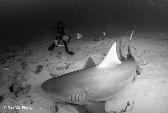 Bull Sharks Playa Del Carmen.jpg