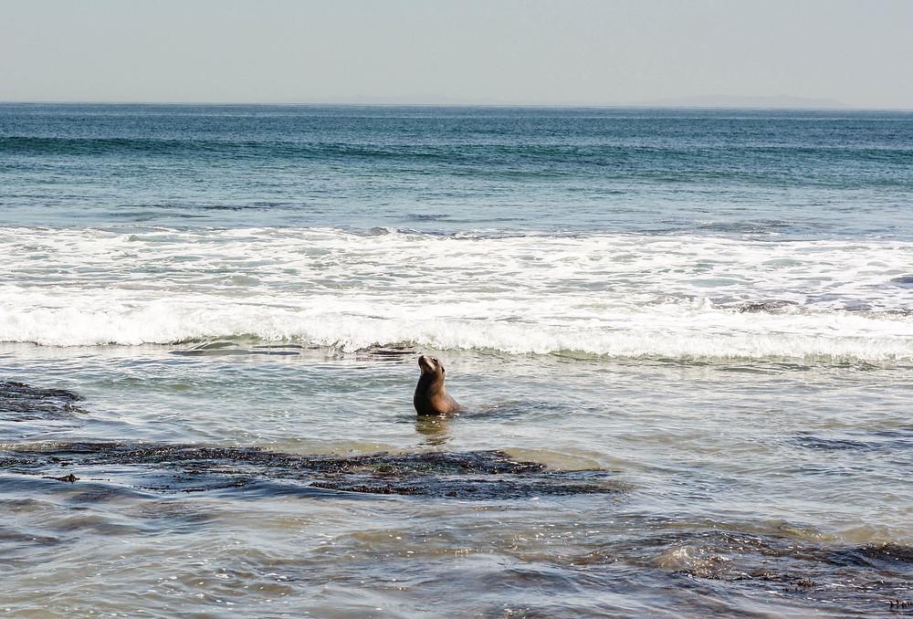 seal ocean