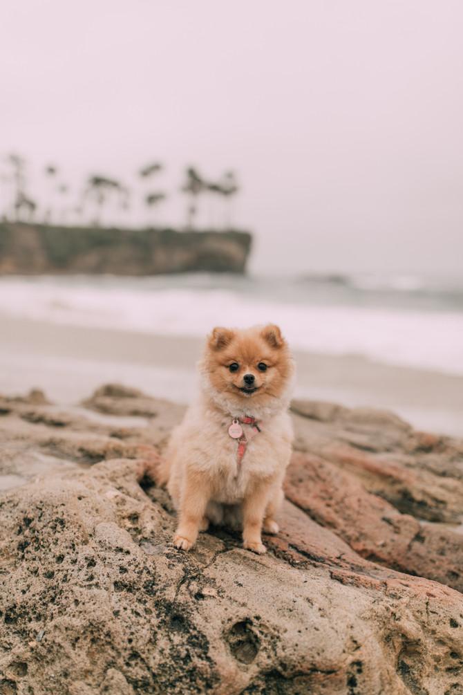 Pomeranian Puppy 9 Months Old! Honey Bear 🍯🐻