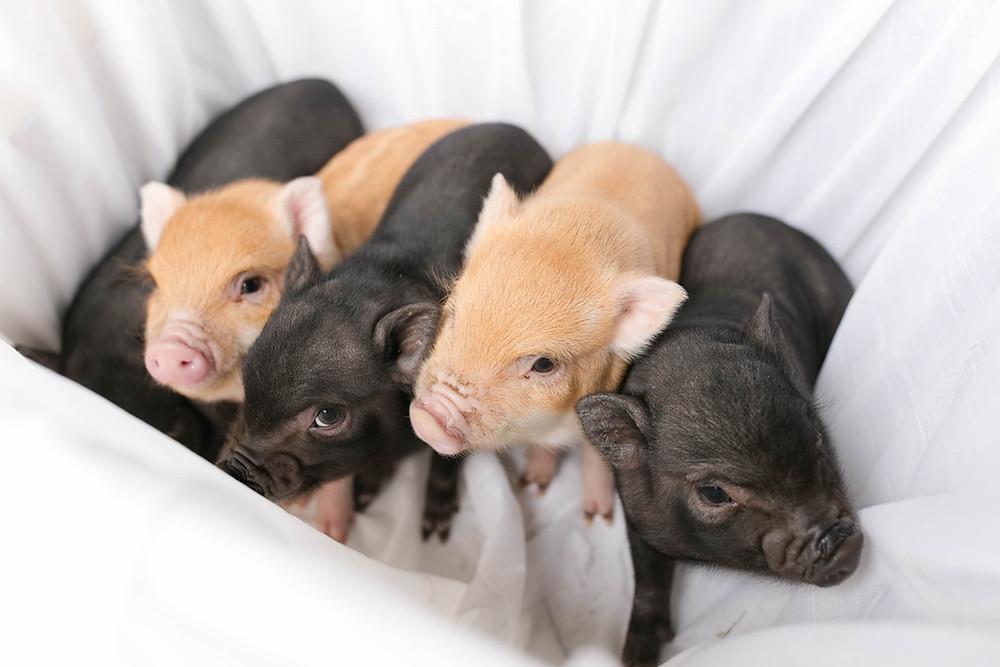 baby piglets