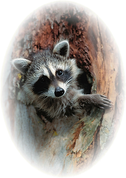 4-Raccoon.png