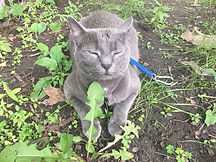 cat outside on harness relaxed
