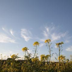 Zartes Gelb vs. blauen Himmel