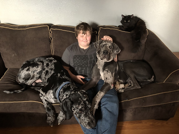 Archibald Siberian's Kozmo looks on as our Great Danes pile on laps