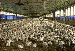 poultryfarm1.jpg
