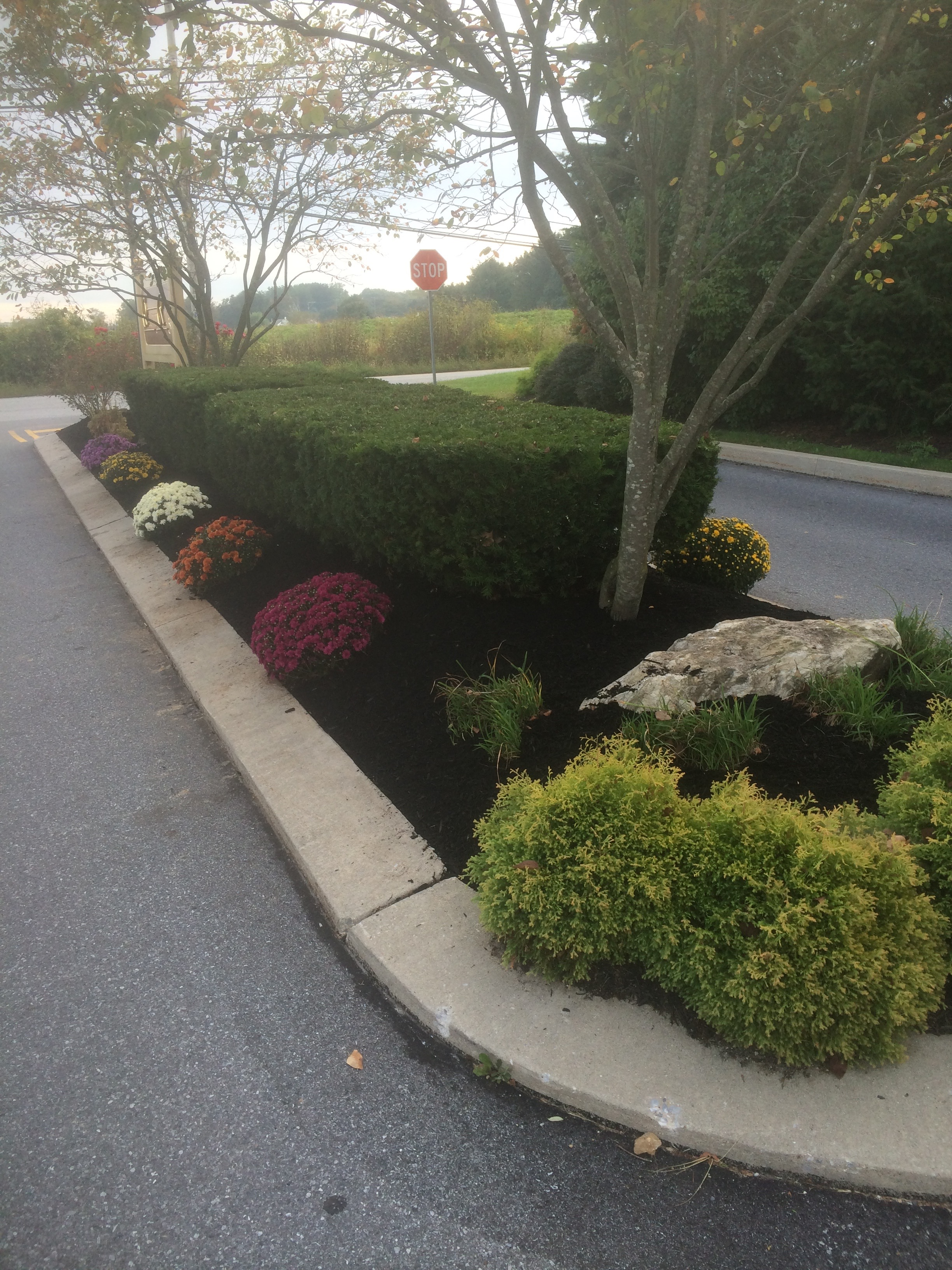 Mulch and planting of mums