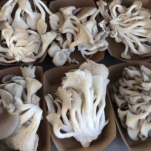 1 lb Blue Oyster Mushroom
